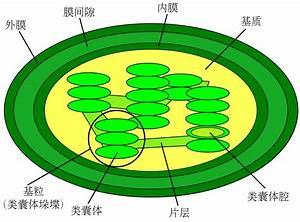File Chloroplast Diagram  Zh-cn  Svg
