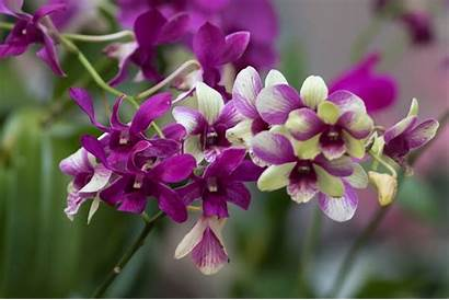 Orchid Wallpapers Branch Exotic Desktop Flowers Nature