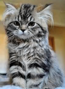 Stripy, Kitten, In, An, Upright, Pose