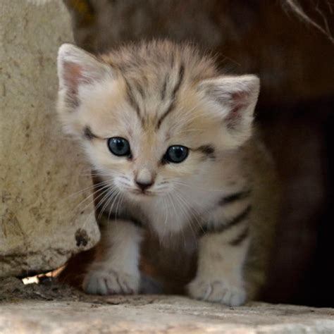 sand cat kitten zoo rare born israeli israel animal cats sandcat endangered wild extinct species three week