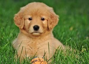 Cutest Golden Retriever Puppy Ever | goldens