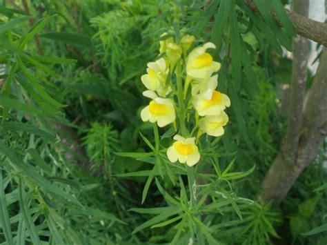 bocca di fiore fiore bocca di piante annuali caratteristica