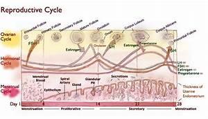 Menstrual Cycle Chart Hormones