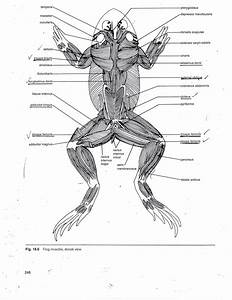 Frog Muscle Anatomy Muscular System Of The Frog Human Anatomy Diagram