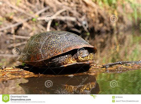 basking l for turtles blandings turtle basking on log stock images image 25795494
