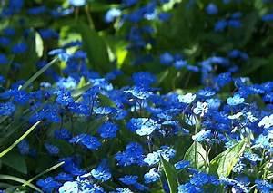 Blau Blühender Bodendecker : omphalodes verna waldvergissmeinnicht blau bl hender bodendecker ~ Frokenaadalensverden.com Haus und Dekorationen