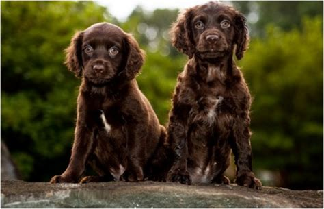 do boykin spaniel dogs shed boykin spaniel puppies breeders rescue facts