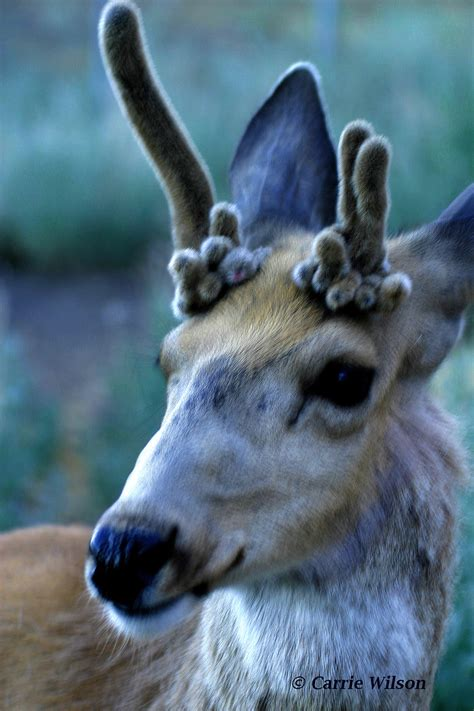 why don t some deer shed their antlers california