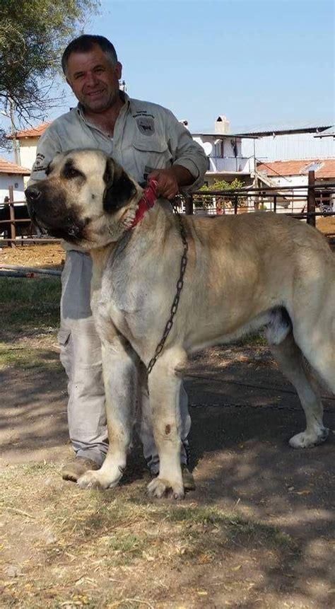 turkish shepherd dog kangal kangal dog