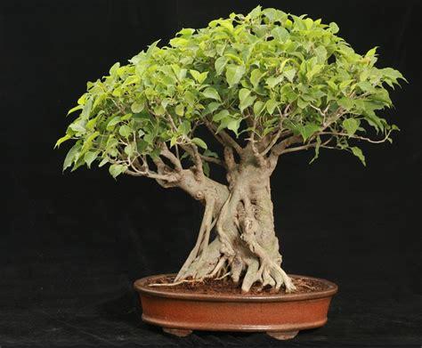where can i buy a bodhi tree ficus religiosa youtube