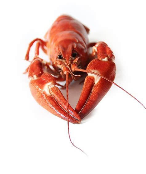photo canker crayfish party red  image  pixabay