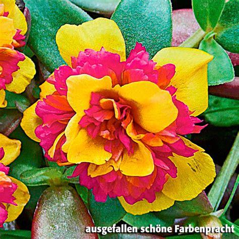 portulak pflanzen kaufen portulak r 246 schen yellow purple kaufen bei