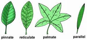 Venation in Leaves