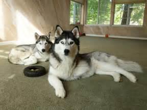 Siberian Husky Full-Grown