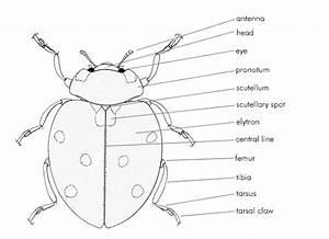 Kumbang Koksi  Ladybug