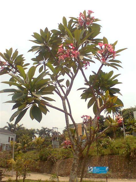 jual pohon kamboja kamboja jepang adenium pesan
