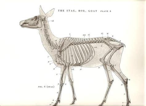 images  animal anatomy  pinterest deer