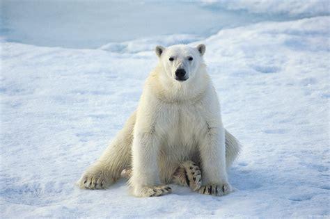 Polar Bear Funny Wallpaper