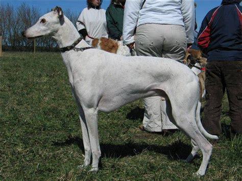 10 pasaulē dārgākie suņi - Spoki