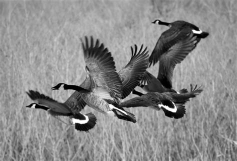 Black And White Migration Photograph By Bonfire Photography