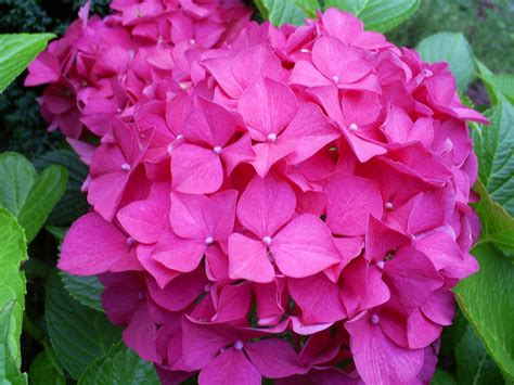 hydrangea pictures propagating hydrangeas how to root cuttings from hydrangea