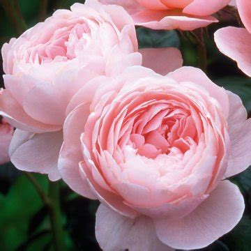pink david roses david austin roses frolic