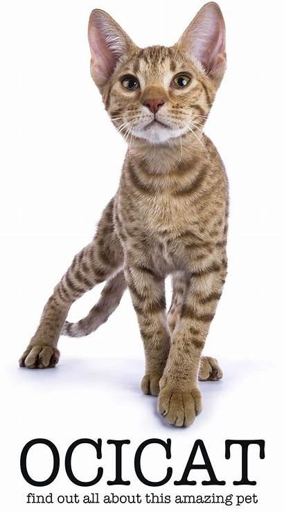 Ocicat Cat Cats Breeds Ocicats Pet Wild
