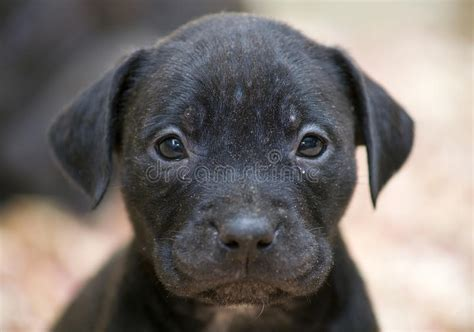 pitbull puppy face stock images image