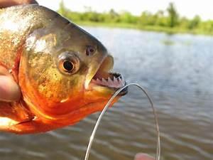 28 best images about piranhas on Pinterest | Dubai ...