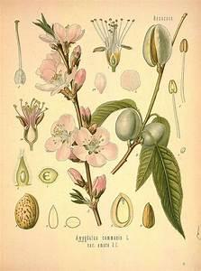 Almond tree vintage botanical illustration | Tattoos ...