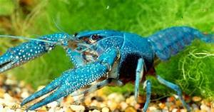 Crayfish as pets | Fresh Crayfish as pets Delivered ...