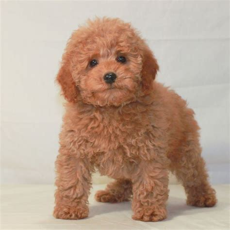 poodle colors apricot 1000 images about our teddy apricot pups on