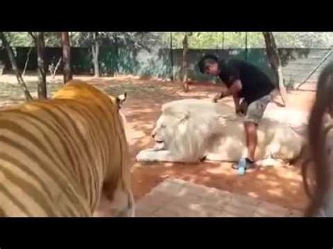 The Biggest Tiger Lion World Youtube
