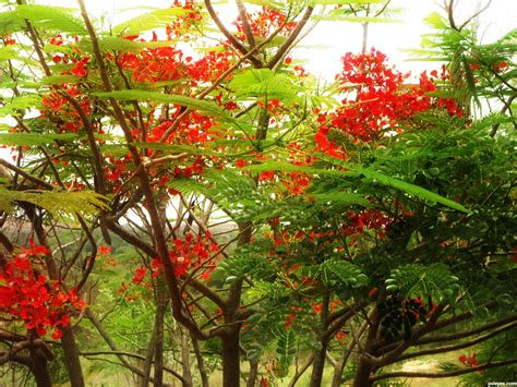 flower tree red flower tree picture by suni271980 for mystic woods 2 photography contest pxleyes com