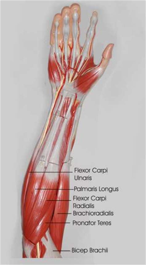 Related posts of forearm tendon anatomy picture muscle anatomy arm. Forearm Stretches - What you need to know to prevent injuries.