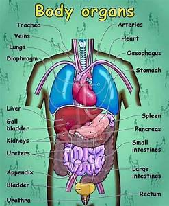 Internal Organs Of The Human Body Anatomical Chart English Vocabulary Internal Organs Of The Human Body