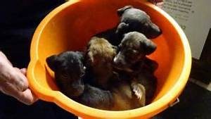 Sick lurcher pups may have been bred as Christmas presents ...