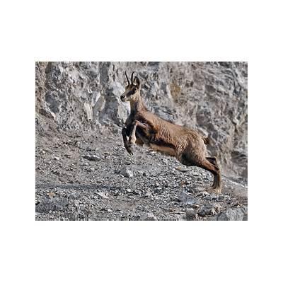 Rupicapra rupicapra Alpine chamois