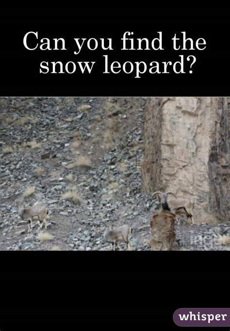 can you find the snow leopard
