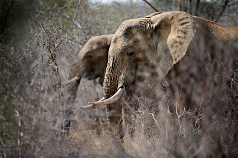 ban  elephant trophies means