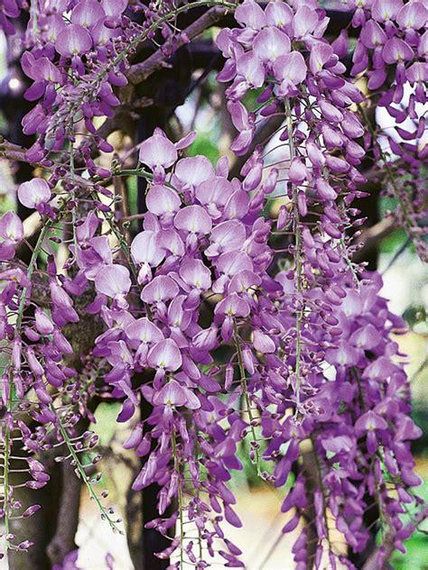 vine plant with purple flowers 8 fast growing vines hgtv