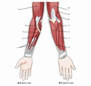 Muscles Of Arm Quiz