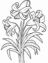 Coloring Lily Printable Kunjungi sketch template