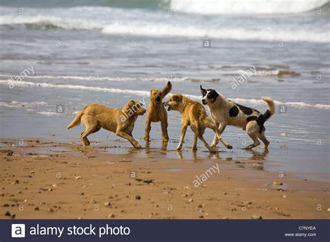 fight dogs fighting stock  fight dogs fighting