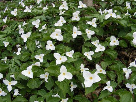 trillium plant random plant white trillium the life of your time
