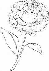 Peony Flower Coloring Drawing Template Stencil Colouring Drawings Adult Beccysplace sketch template