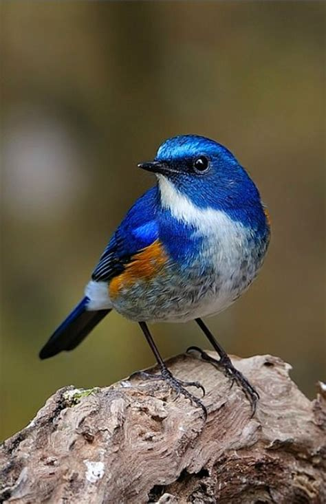 small birds himalayan bluetail tarsiger rufilatus a small bird of forests in the himalayas somchai