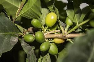 Kopi Luwak Zubereitung : kaffeesorten welche gibt es arabica robusta und kopi luwak ~ Eleganceandgraceweddings.com Haus und Dekorationen