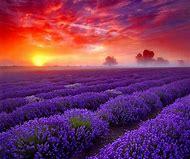 Lavender Fields Beautiful Desktops