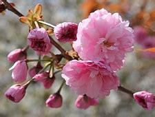 different types of cherry blossom trees types of cherry blossom trees www pixshark com images galleries with a bite